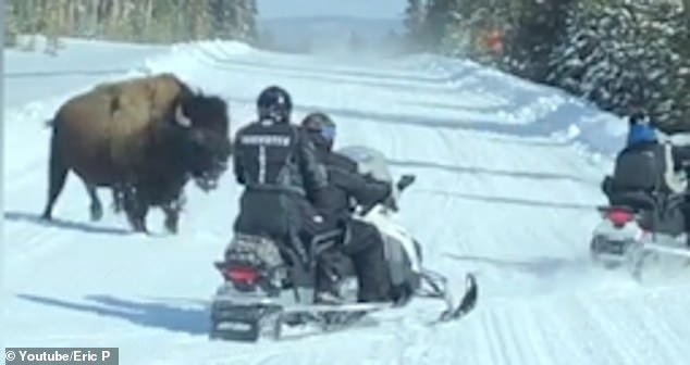 Snowmobilers Speed Away from a 2,000lb, Charging Bison