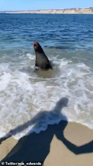 WATCH: Sea Lion Terrifies Beachgoers By Jumping Out Of Water And Charging Them