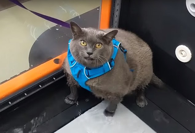 WATCH: Obese Cat Makes A Half-Hearted Attempt At An Underwater Treadmill