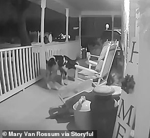 WATCH: Newborn Calf Caught On Doorbell Camera Exploring After Escaping From Farm