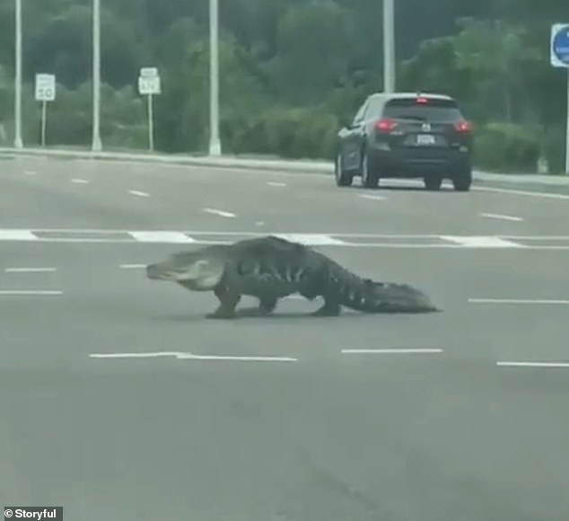 WATCH: Alligator Walks Towards Cars On Busy Intersection