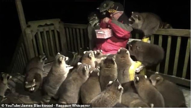 Man Get Mobbed By Raccoons While Feeding Them Hot Dogs
