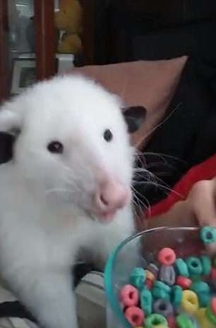 WATCH: Women Shares Fruit Loops With Pet Possum