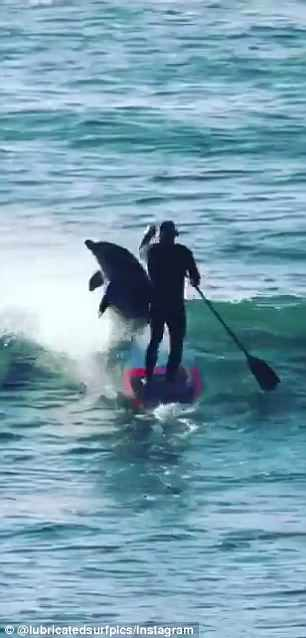 WATCH: Paddle Boarder Gets Knocked Down By Dolphin