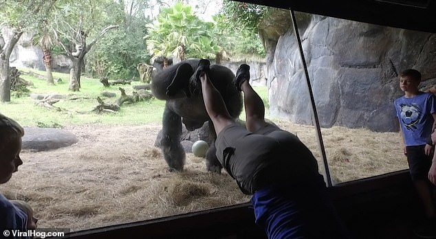WACTH: Gorilla Copies Trainer And Does A Handstand