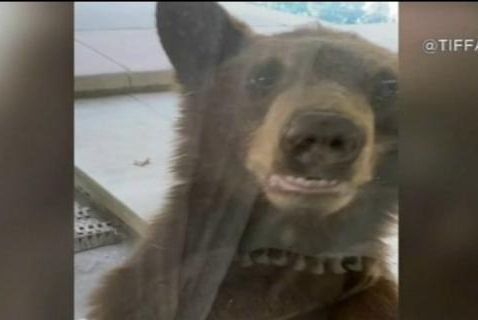 Bear Cubs Pay a Woman a Visit, Peek in Her Windows