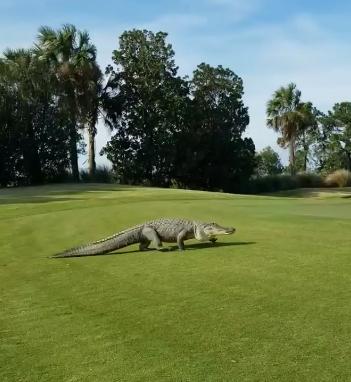 WATCH: Enormous Alligator Walks Across Golf Course in Georgia