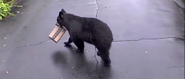 WATCH: Bear Steals Package From Porch