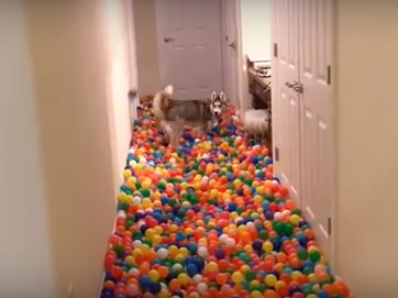 Guy Creates a Ball Pit in His House, Has Happiest Dog in the World