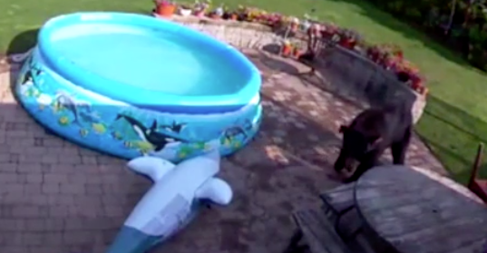 Bear Squares Off with an Inflatable Shark
