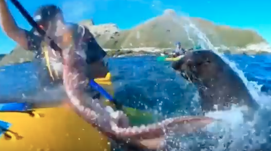 WATCH: Seal Slaps Kayaker Across The Face With An Octopus