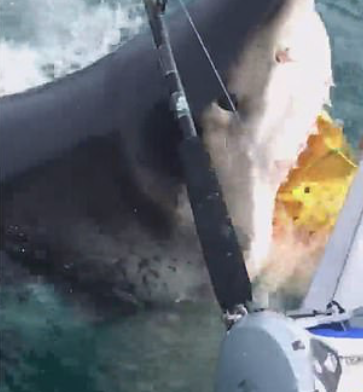 Massive 18ft Great White Shark Steals Bait from Fishing Boat off the Coast of New Jersey