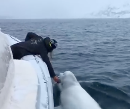 WATCH: Beluga Whale Plays Fetch With Rugby World Cup Ball