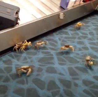 Live Crabs Busted Out of a Box in the Airport, Takeover the Luggage Carousel