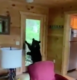 Bear Breaks into Cabin… with Guests Inside