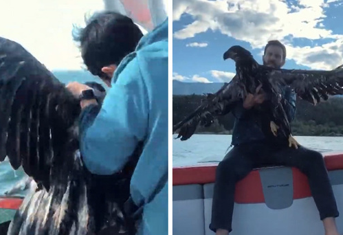Man Rescues Drowning Baby Bald Eagle