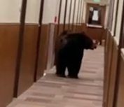 WATCH: Bear Wanders Hallway of Colorado Lodge