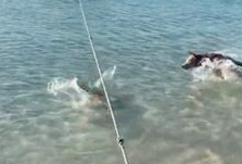 WATCH: Guard Dog Chases Shark Away From Shoreline