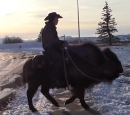 WATCH: Alberta Man Rides Buffalo to the Grocery Store
