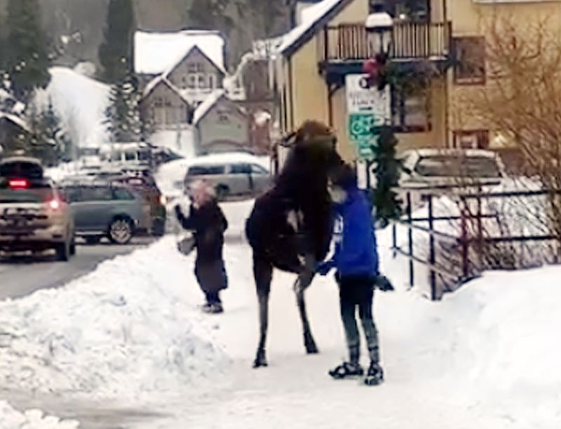 WATCH: Moose Nearly Tramples Woman Who Attempts To Pet It