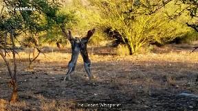 Ferocious Jackrabbit Fight Caught on Camera in Arizona Desert